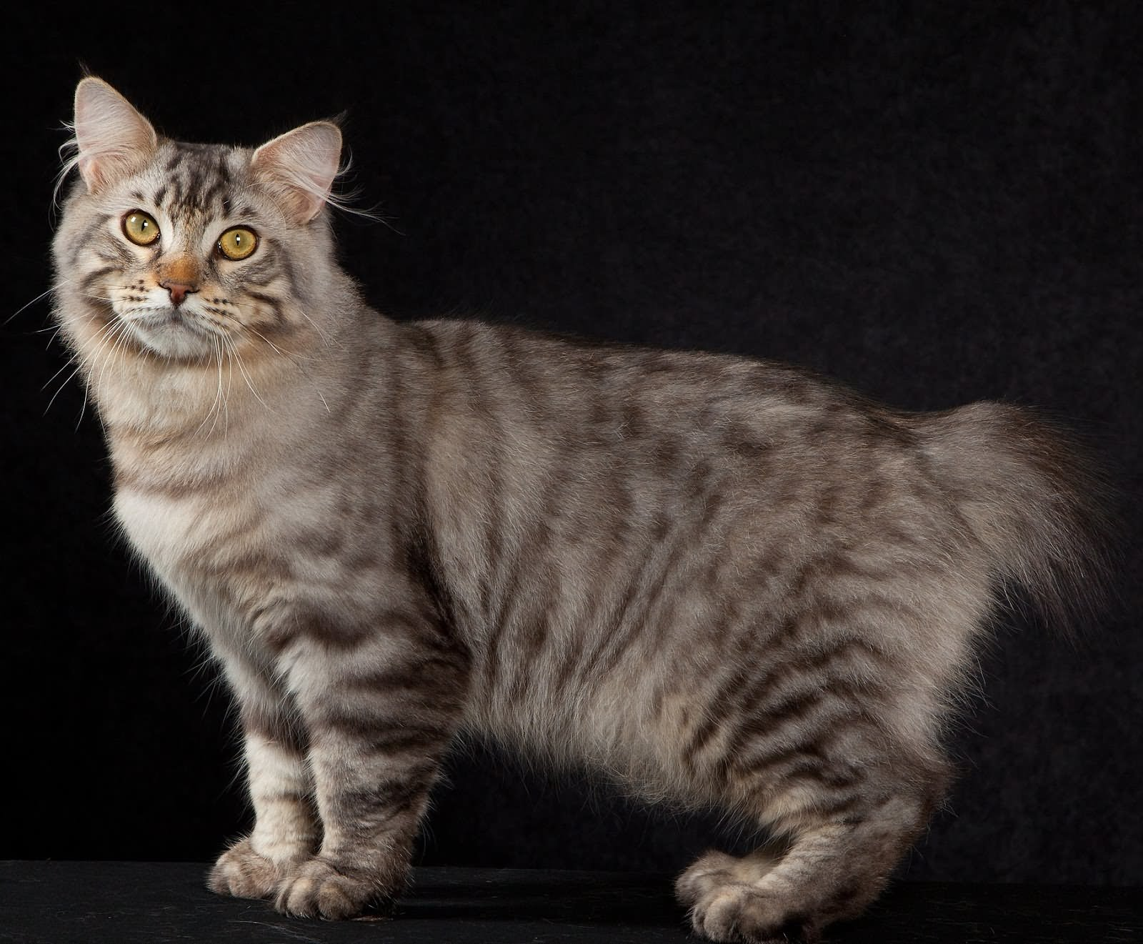 American Bobtail Shorthair Cat