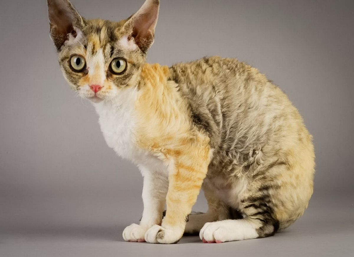 Shorthair cats. German Rex: breed description, character, content 10