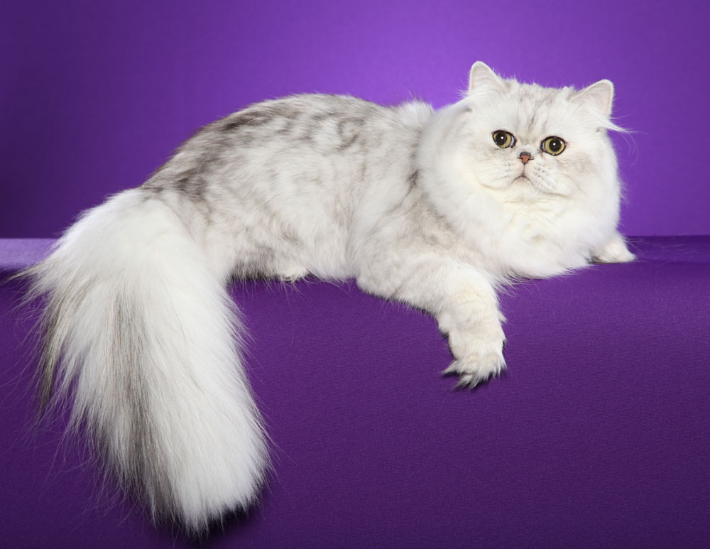 Картинки кошек породы персидская шиншилла