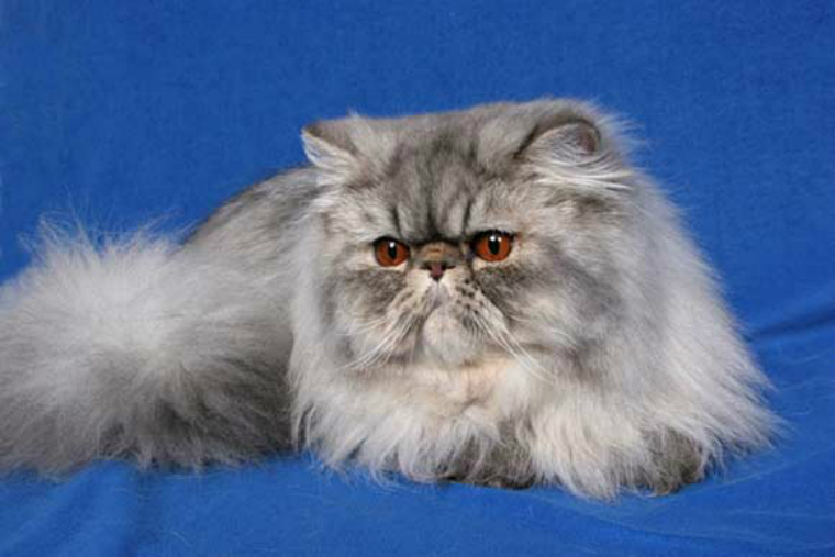 persian silver tabby cat breed everything about cats