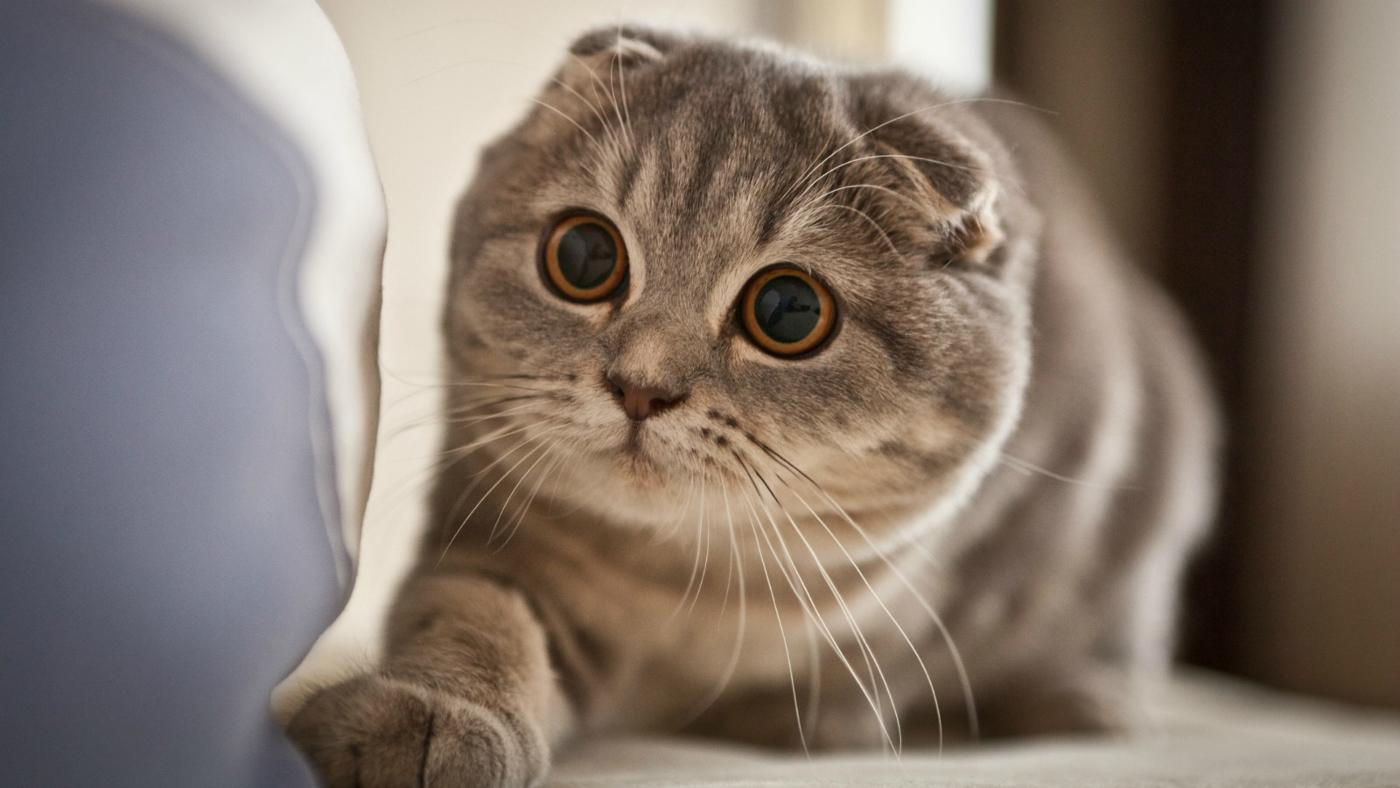 Scottish Fold kittens: description of the breed, photo 29