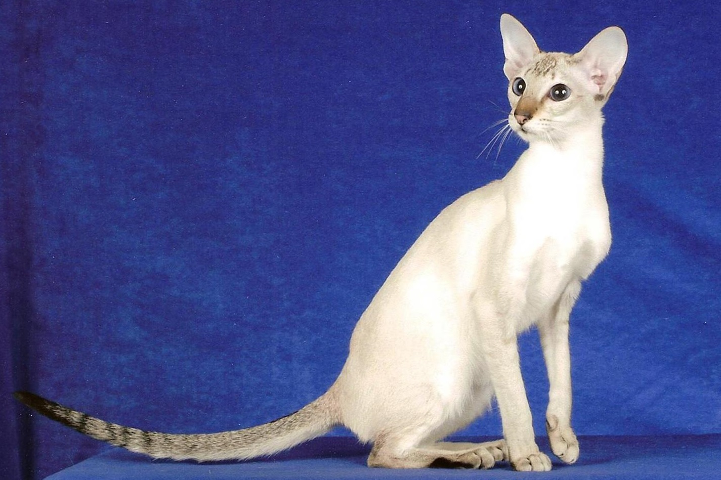 Colorpoint Shorthair Cat Breed Everything About Cats